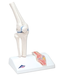 Mini Knee Joint with cross section(A85/1)